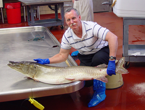 Dr. Paul Bowser of Cornell University holds a muskellunge impacted by the VHS virus. Photo: Cornell University